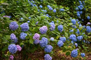 生駒山頂アジサイ園の写真素材 [FYI01644808]