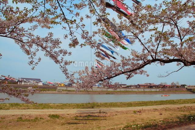 鯉のぼりと桜の写真素材 [FYI01644986]