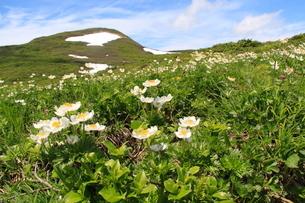 ハクサンイチゲ咲く焼石岳の写真素材 [FYI01645026]