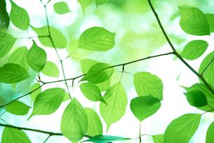 新緑の葉っぱの写真素材 [FYI01645031]
