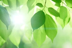 新緑の葉っぱの写真素材 [FYI01645566]