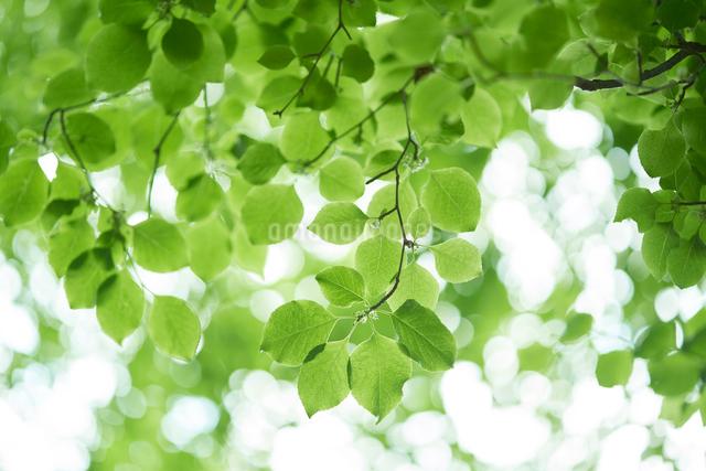 新緑の葉っぱの写真素材 [FYI01645695]