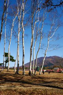 蒜山高原の白樺の写真素材 [FYI01645723]