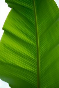 バショウの葉っぱの写真素材 [FYI01645959]