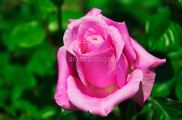 ピンクのバラ(桃香)バラ科の写真素材 [FYI01646139]