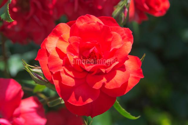 赤いバラ(バラ科)でマイナーフェアーの写真素材 [FYI01646200]