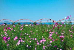 青空に1000万本のコスモス畑と日本一長い水管橋の写真素材 [FYI01646386]