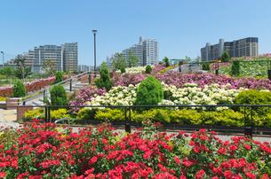 色々なバラ(バラ科)の咲く新田さくら公園の写真素材 [FYI01646531]