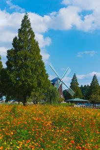 青空にあけぼの山農業公園の風車とキバナコスモスの写真素材 [FYI01646542]
