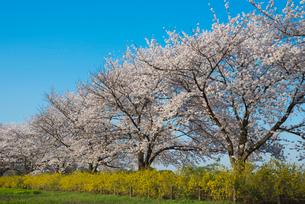 青空に田島ヶ原桜草公園のサクラとレンギョウの写真素材 [FYI01646563]