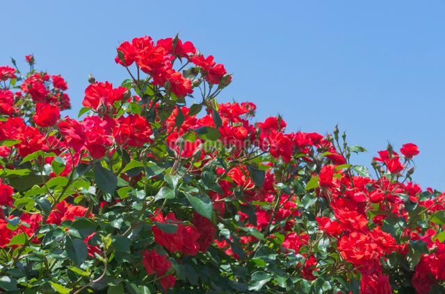 赤いバラ(バラ科)でマイナーフェアーの写真素材 [FYI01646672]