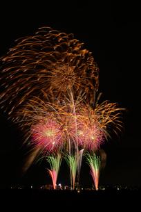とりで利根川大花火の秋桜~コスモス~の写真素材 [FYI01646751]