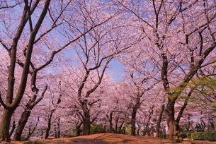 飛鳥山公園の桜 八代将軍徳川吉宗享保の改革 日本最初の公園の写真素材 [FYI01646931]
