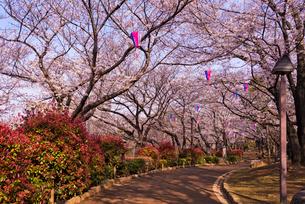 飛鳥山公園の桜の写真素材 [FYI01646941]