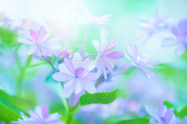 アジサイの花の写真素材 [FYI01647107]