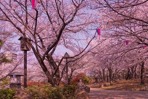 飛鳥山公園の桜と歩道 徳川吉宗享保の改革 日本最初の公園の写真素材 [FYI01647110]