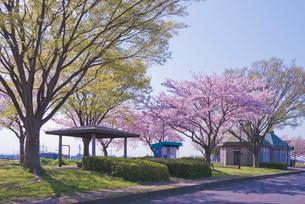 青空に水海道ロードパークの桜並木の写真素材 [FYI01647118]