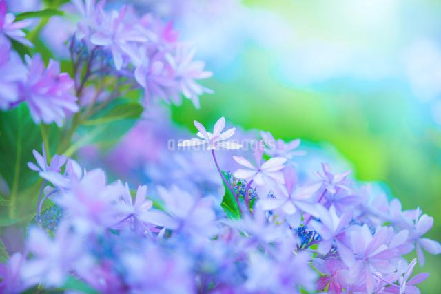 アジサイの花の写真素材 [FYI01647193]