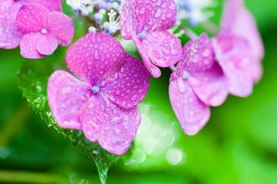 アジサイの花の写真素材 [FYI01647198]