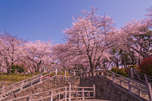 飛鳥山公園の桜 徳川吉宗享保の改革 日本最初の公園の写真素材 [FYI01647210]