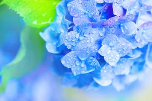 アジサイの花の写真素材 [FYI01647217]