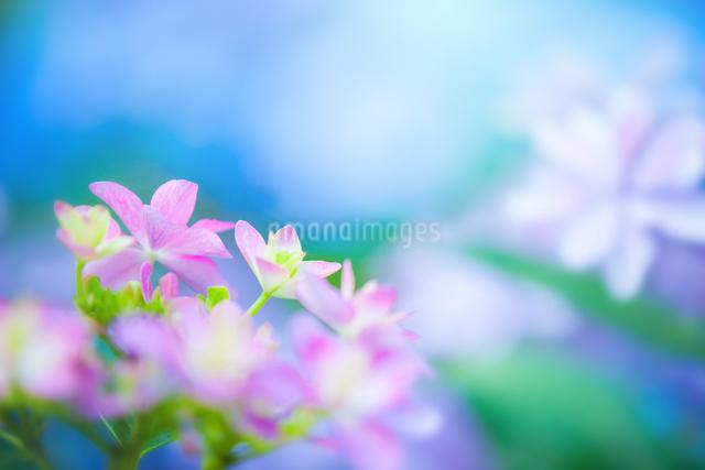 アジサイの花の写真素材 [FYI01647241]