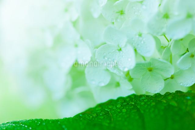 アジサイの花の写真素材 [FYI01647273]