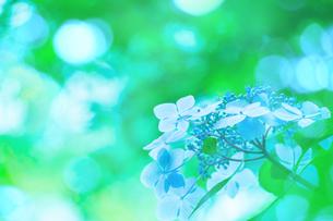 アジサイの花の写真素材 [FYI01647274]