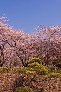 飛鳥山公園の桜と松 徳川吉宗享保の改革 日本最初の公園の写真素材 [FYI01647278]