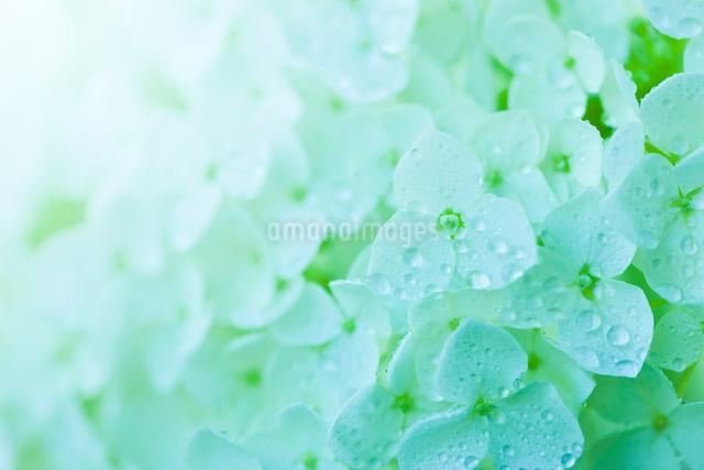 アジサイの花の写真素材 [FYI01647293]
