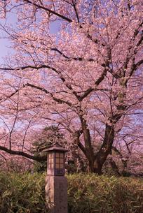 飛鳥山公園の桜と石灯篭 徳川吉宗享保の改革 日本最初の公園の写真素材 [FYI01647303]