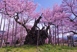 日本三大桜の山高神代桜 樹齢2000年のエドヒガンザクラの写真素材 [FYI01647313]