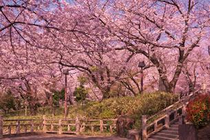 飛鳥山公園の桜と 徳川吉宗享保の改革 日本最初の公園の写真素材 [FYI01647382]