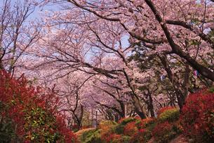 飛鳥山公園の桜 徳川吉宗享保の改革 日本最初の公園の写真素材 [FYI01647384]