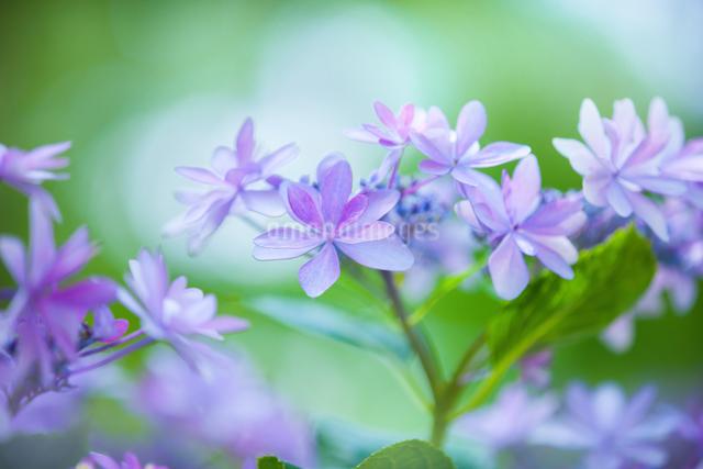 アジサイの花の写真素材 [FYI01647570]