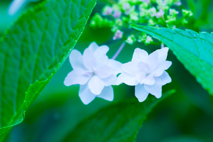 アジサイの花の写真素材 [FYI01647572]