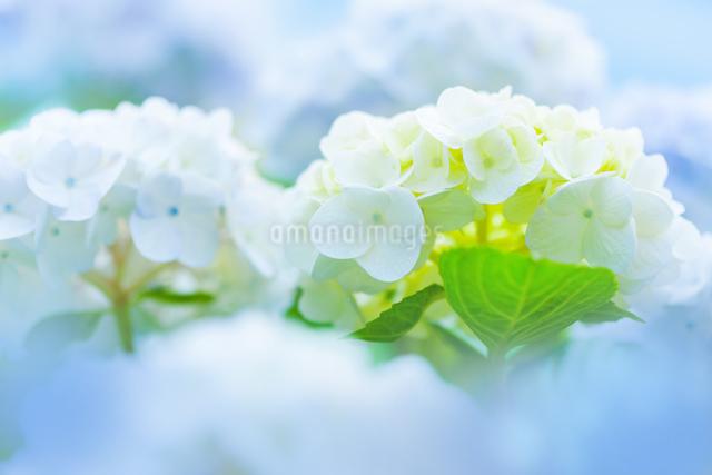 アジサイの花の写真素材 [FYI01647682]