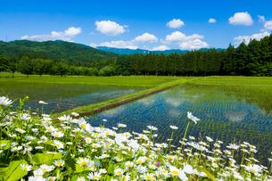 初夏の水田の写真素材 [FYI01647773]