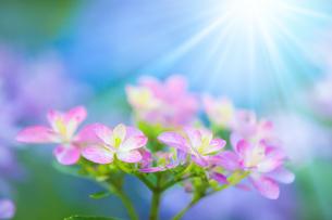 アジサイの花の写真素材 [FYI01647818]