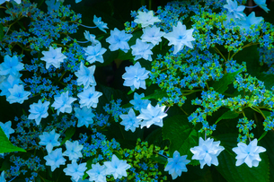アジサイの花の写真素材 [FYI01647858]