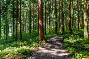 杉林の小道の写真素材 [FYI01647862]