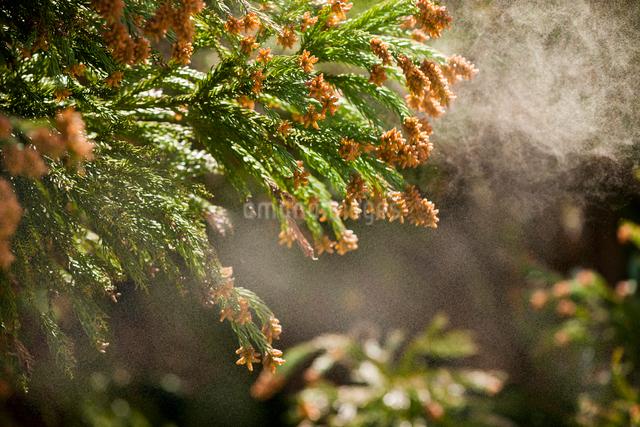 杉花粉の写真素材 [FYI01647885]
