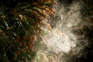 杉花粉の写真素材 [FYI01647899]