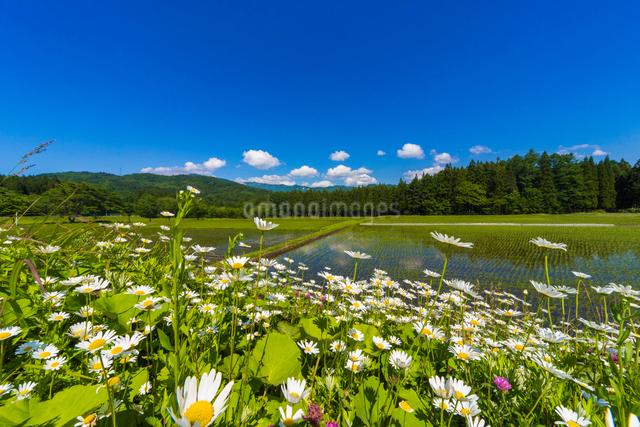 初夏の水田の写真素材 [FYI01647925]