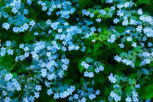 アジサイの花の写真素材 [FYI01647944]