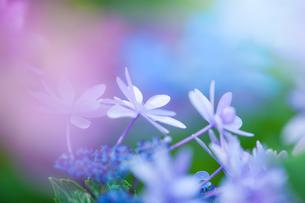 アジサイの花の写真素材 [FYI01647957]