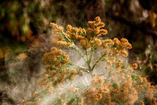 杉花粉の写真素材 [FYI01647963]