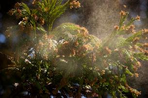 杉花粉の写真素材 [FYI01647971]