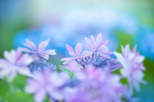 アジサイの花の写真素材 [FYI01648030]