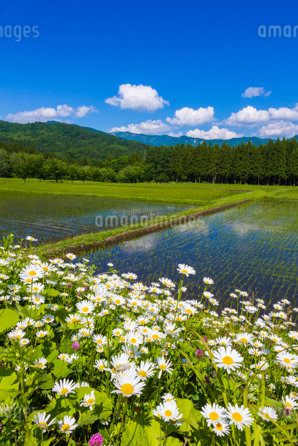 初夏の水田の写真素材 [FYI01648037]